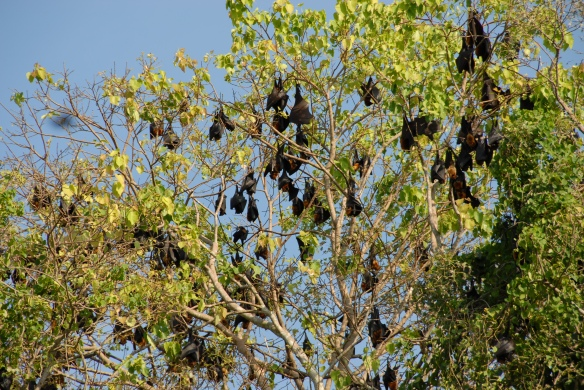 One, two, mobs (as they'd say in Oz). Part of the workshop focused on counting flying foxes like these Pteropus lylei