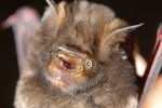 Forest Hipposideros