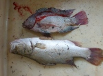 Twin evils of Lake Victoria -- Tilapia and Nile perch