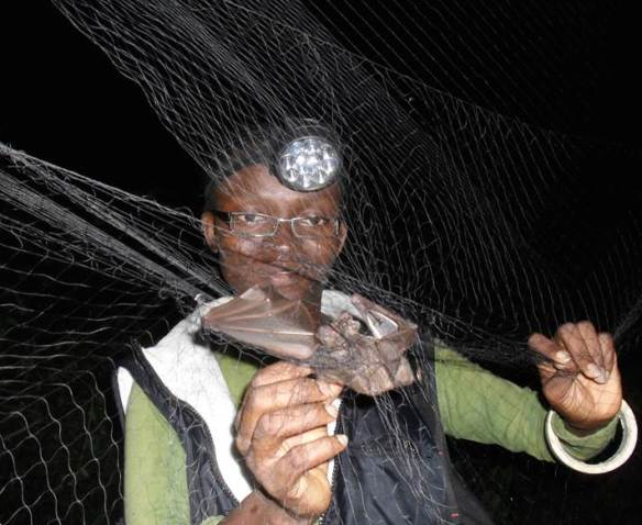 Iroro Tanshi extracting a fruit bat from a mist net